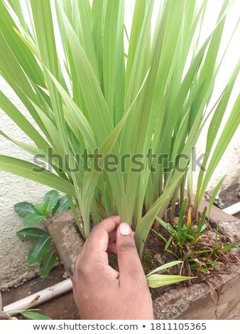 A girl holding a blade of grass Stock photo © IS2