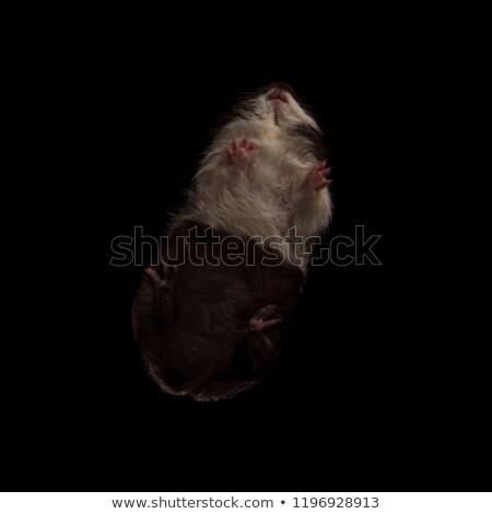 かわいい · モルモット · クリスマス · リボン · 黒 - ストックフォト © feedough