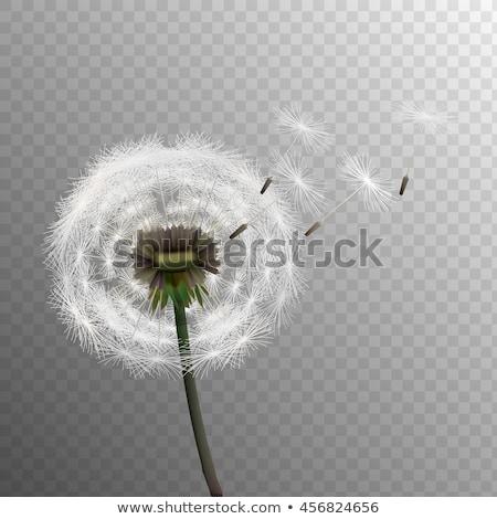 Foto stock: Dandelion · silhueta · transparente · gradiente · flor