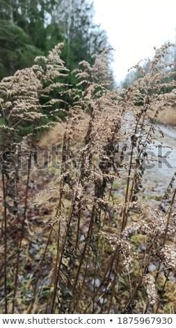 November withered grass background Stock photo © wildman