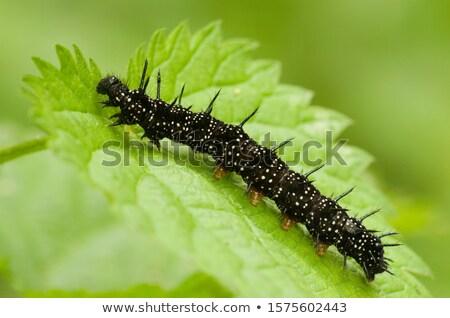 европейский павлин Гусеницы бабочка зеленый лист Сток-фото © prill