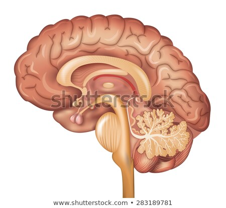 human brain organ parts anatomy diagram colorful design side view vector stock photo © andrei_