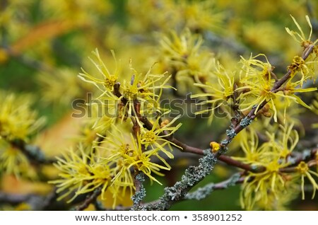 hamamelis virginiana is blooming in fall stock photo © lianem