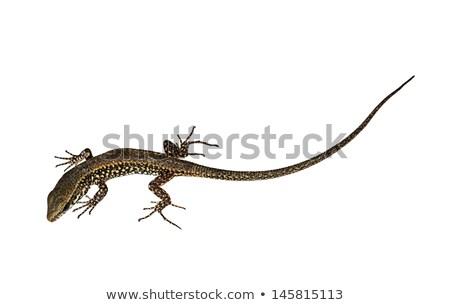 Isolado branco parede lagarto natureza animal Foto stock © taviphoto