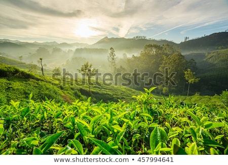 çay yeşil çay mavi gökyüzü tepeler ağaç doğa Stok fotoğraf © dmitry_rukhlenko
