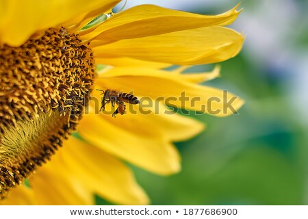 Ladybug · подсолнечника · цветок · красоту · лет · красный - Сток-фото © ansonstock