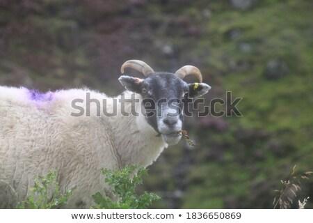 A single lamb chewing on grass stock photo © duoduo