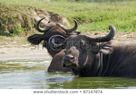 African Buffalos waterside in Uganda Stock photo © prill