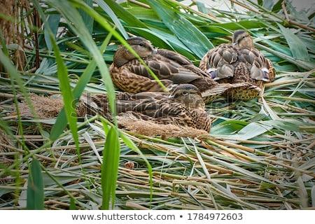 young mallard duck Stock photo © taviphoto