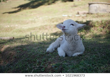 sheep 33 Stock photo © LianeM