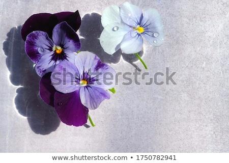 Viola flowers in Bloom Stock photo © tab62