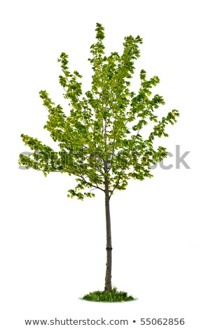isolated young maple tree stock photo © elenaphoto