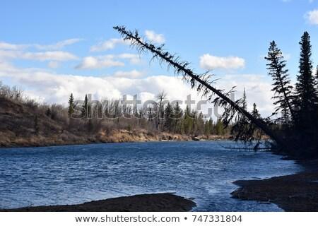 Dead Pines in the North Woods Stock photo © wildnerdpix