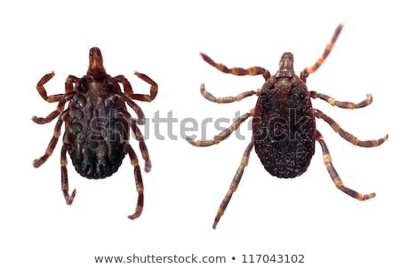tick   parasitic arachnid stock photo © lightpoet