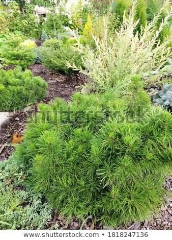 bonsai · imagen · agradable · pequeño · árbol · jardín - foto stock © marimorena