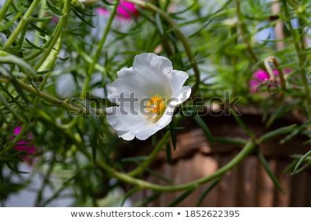 Witte bloem macro shot natuur Stockfoto © mroz