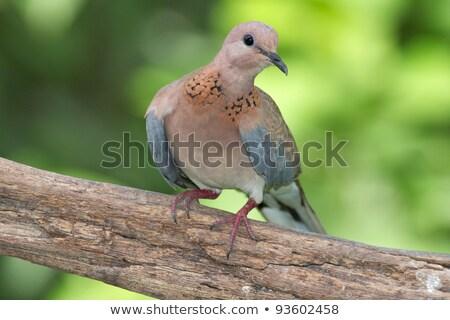 ストックフォト: 笑い · 鳩 · 座って · フェンス · 自然