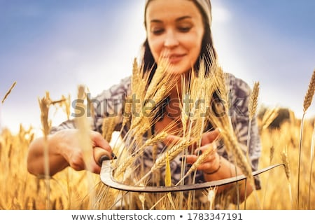 Female hand in cultivated agricultural wheat field. Stock photo © stevanovicigor