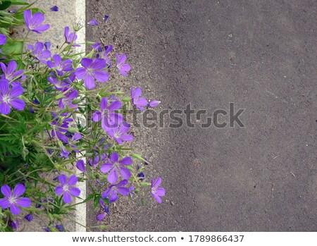 花 · クローズアップ · 美しい · バイオレット · 夏 · 赤 - ストックフォト © julietphotography
