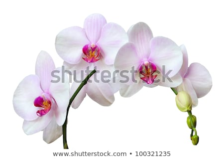 White orchid with pink spots Stock photo © slunicko