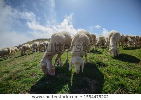 子羊 · 風景 · 小さな · 立って · 丘 · 見える - ストックフォト © digoarpi