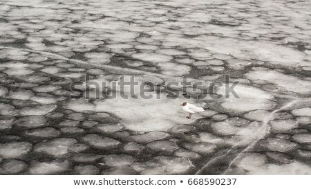 Ice floes on the river with pigeon, texture Stock photo © meinzahn