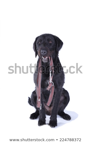 mixed breed black dog sitting in white studio stock photo © vauvau