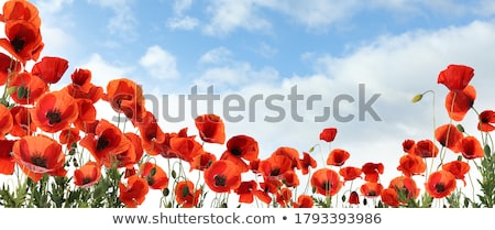 Güzel kırmızı haşhaş parlak doğa Stok fotoğraf © ptichka