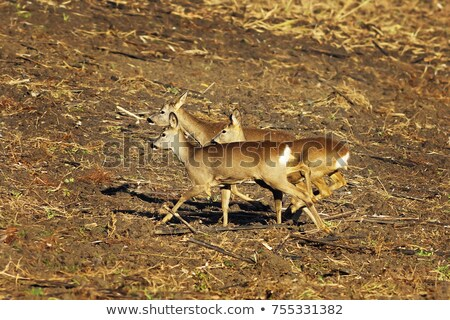 scared roe deers running on agricultural terrain stock photo © taviphoto