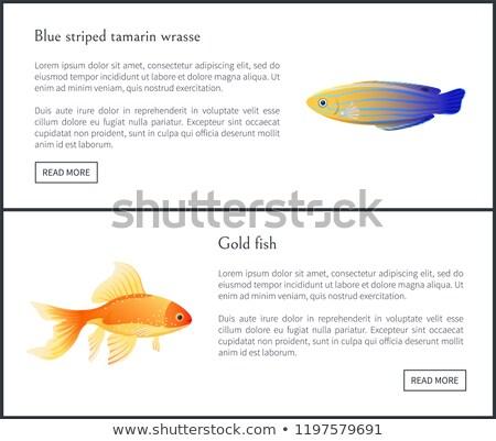 Aquarium Blue Striped Tamarin Wrasse Poster Vector Stock photo © robuart
