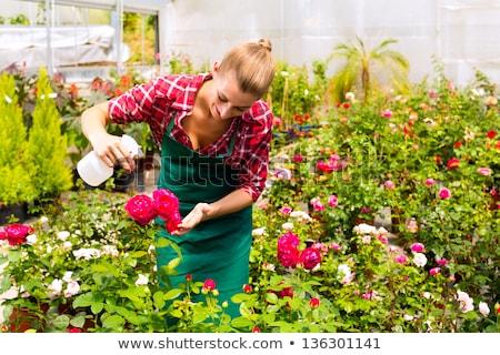 Comercial jardineiro mulher trabalhando rosas estufa Foto stock © Kzenon
