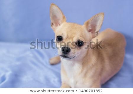 Retrato adorável curto isolado branco Foto stock © vauvau