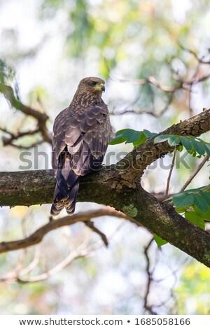 Czarny Kania Etiopia safari przyrody ptaków Zdjęcia stock © artush