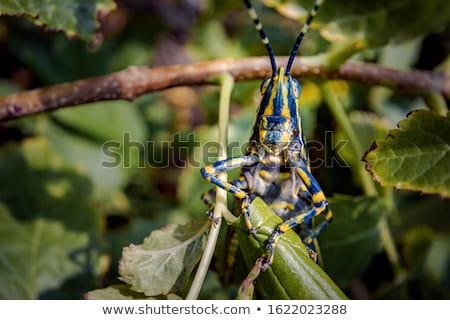 Konik polny gatunek owadów wybór kawy duch Zdjęcia stock © cookelma