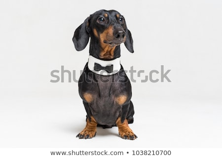 An adorable Dachshund wearing bow tie Stock photo © vauvau