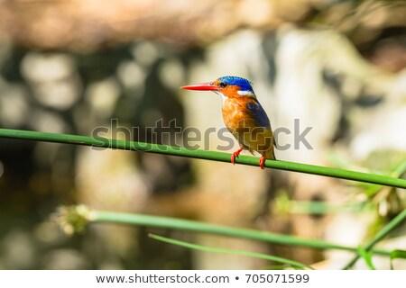 African Pygmy Kingfisher Stock photo © suerob