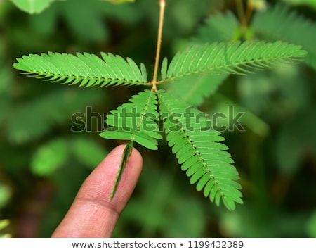 sensível · planta · verde · natureza · jardim - foto stock © azamshah72
