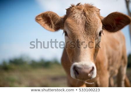 молодые корова лице луговой природы пейзаж Сток-фото © Kuzeytac