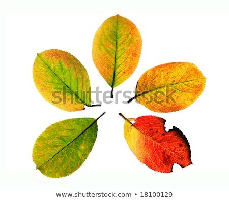 Crimson Serviceberry Leaves Stock photo © ca2hill