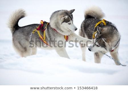 Dos perro cachorros jugando nieve Foto stock © inarts