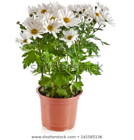 Pretty potted daisy Stock photo © macsim