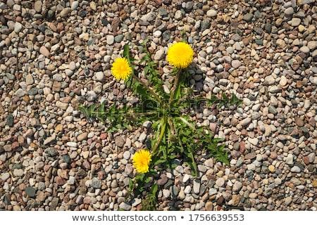 одуванчик растущий гравий экология желтый весны Сток-фото © taviphoto