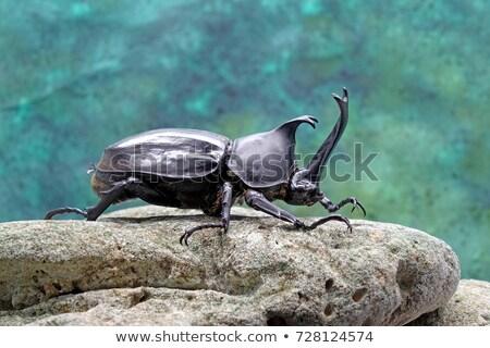 Rhinoceros Beetle on a Rock Stock photo © rhamm