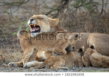 Feeding Lion 3 Stock photo © bradleyvdw