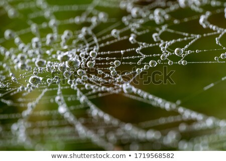 water droplets in the spider web Stock photo © thomaseder