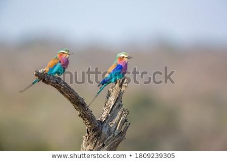 Orgona madár Afrika szem természet narancs Stock fotó © compuinfoto