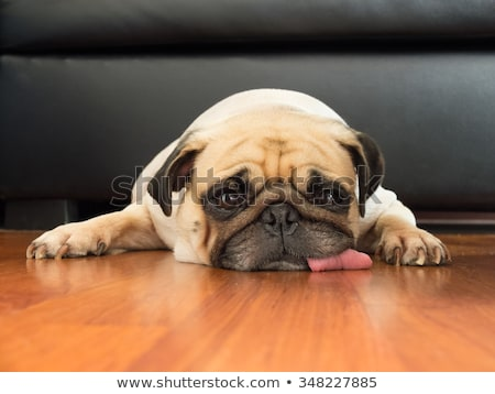 Close-up of pug puppy relaxing on sofa Stock photo © mlyman