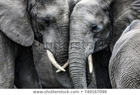 kettő · elefántok · sétál · park · Dél-Afrika · háttér - stock fotó © lirch