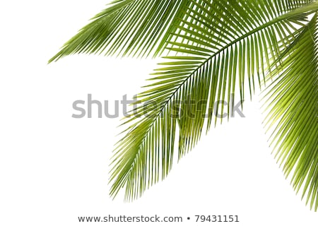 Part of palm tree on white Stock photo © ultrapro