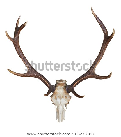 Antlers of a huge stag on white wall. Stock photo © kasto
